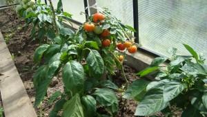 помидоры 007.jpg
