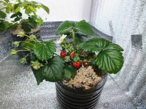 Выращивание клубники по технологии лядова 491