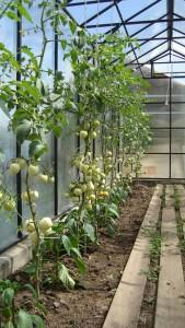 помидоры 004.jpg