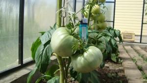 помидоры 008.jpg