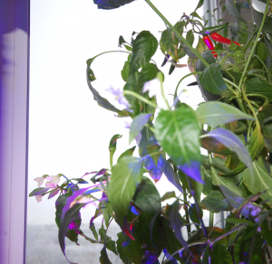 перцы-и-цветы.png