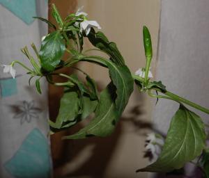 цветы-перца2.png